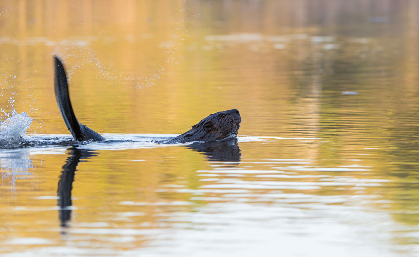 The Warning ( Castor canadensis ) - St. Croix Valley, MN  Nikon D610 + Nikon 200-400mm f4.0 VR