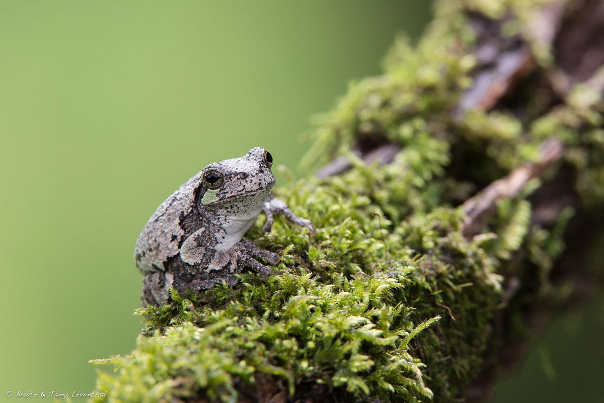 Gray Tree Frog ( Hyla versicolor ) - Nikon D610 + Nikon 200-400mm VR