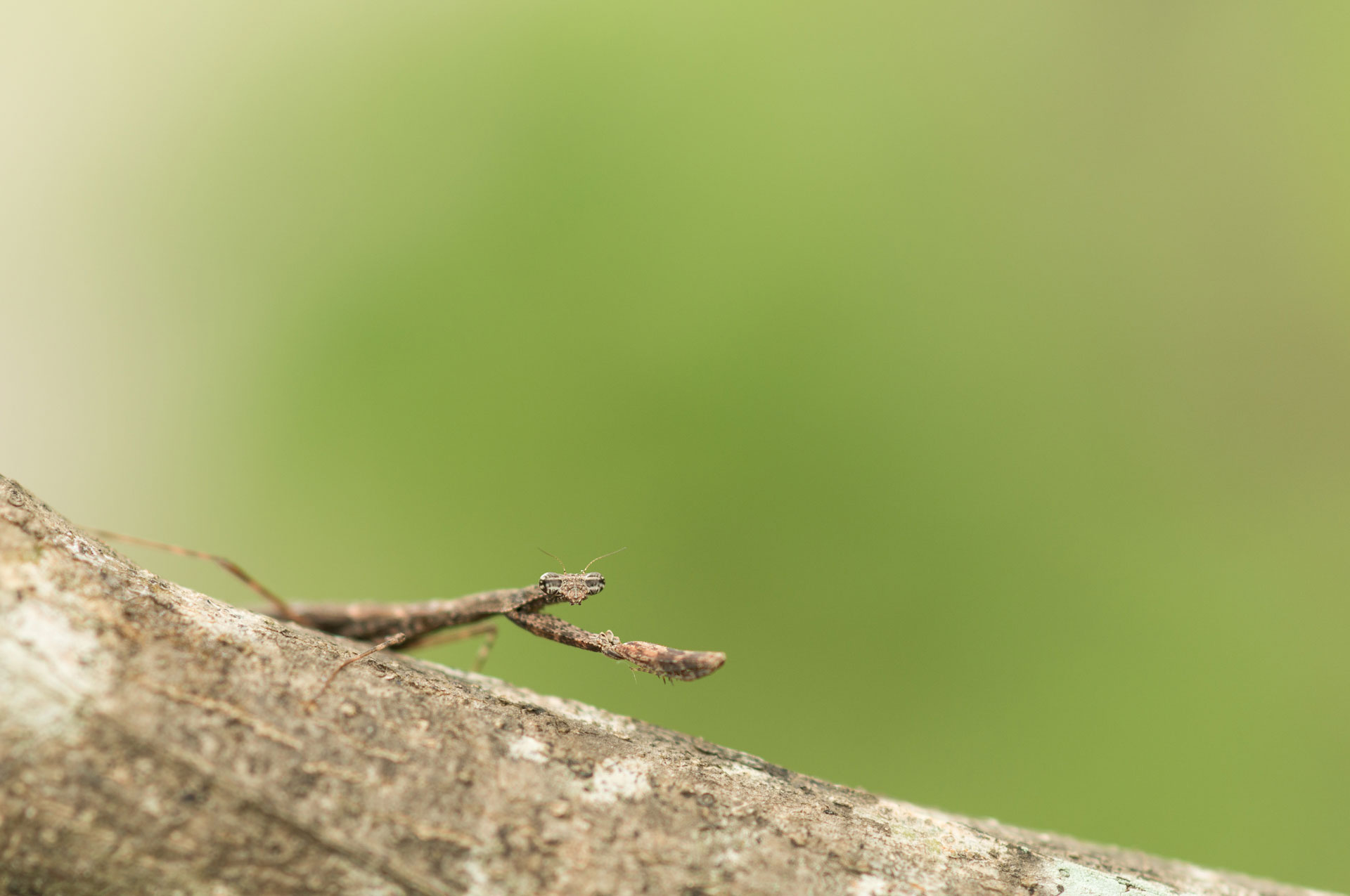 Brown Stick Mantis - Horizontes Biological Station