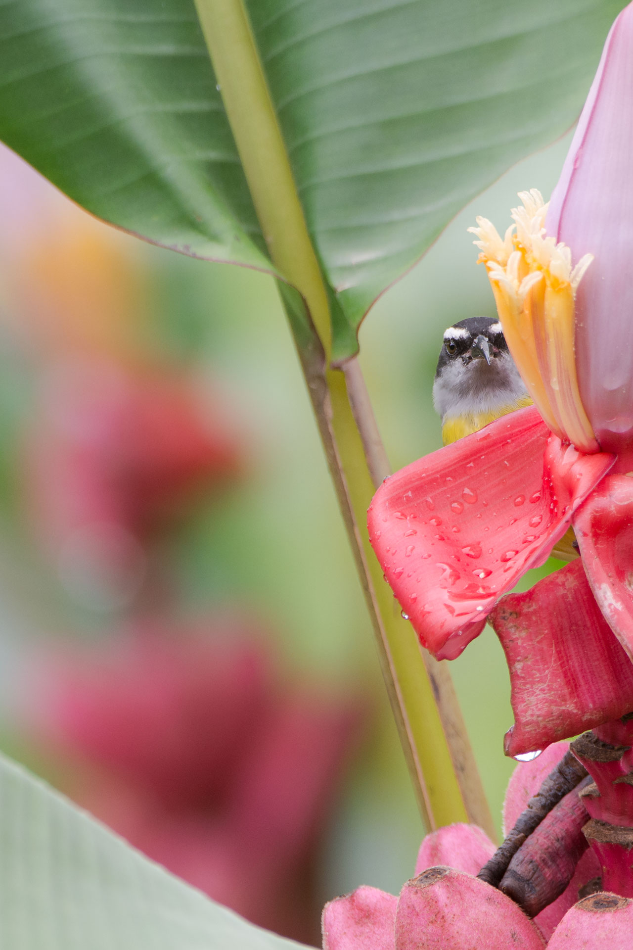 Peek-a-Boo Bananaquit - Finca La Anita in Colonial Libertad
