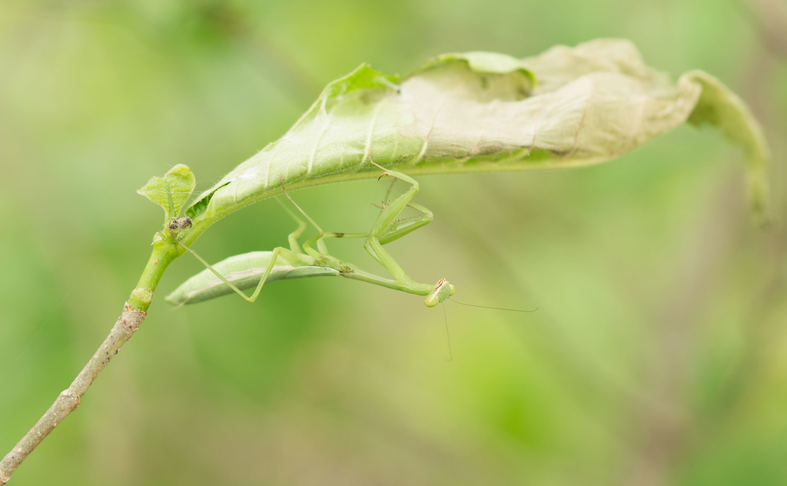 Green Mantis - Horizontes Biological Station