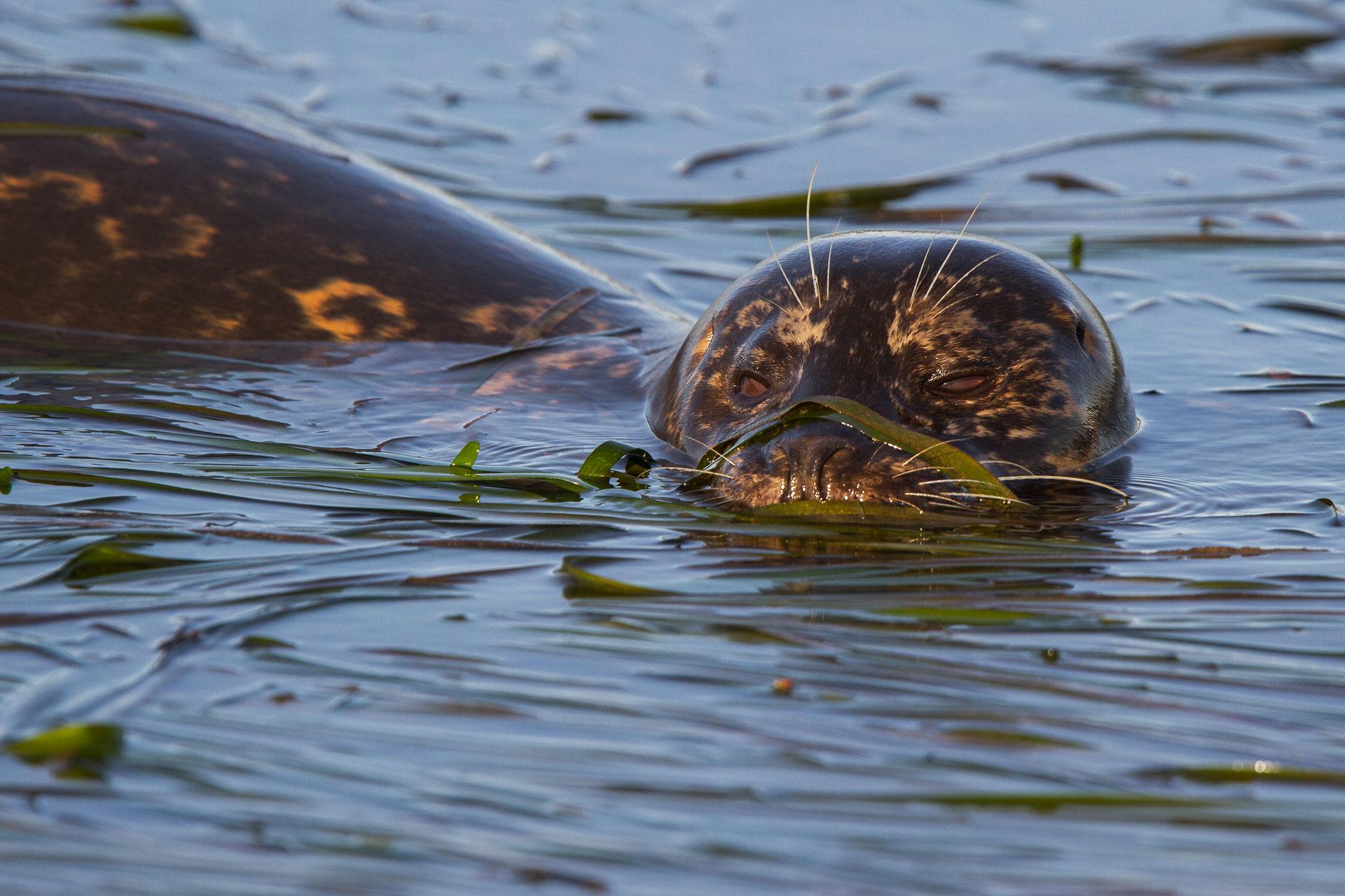 Harbor Seal  (Phoca vitulina) : Elkhorn Slough, California  Canon 7D + Canon 300mm f2.8L IS w/ Canon 1.4x Converter