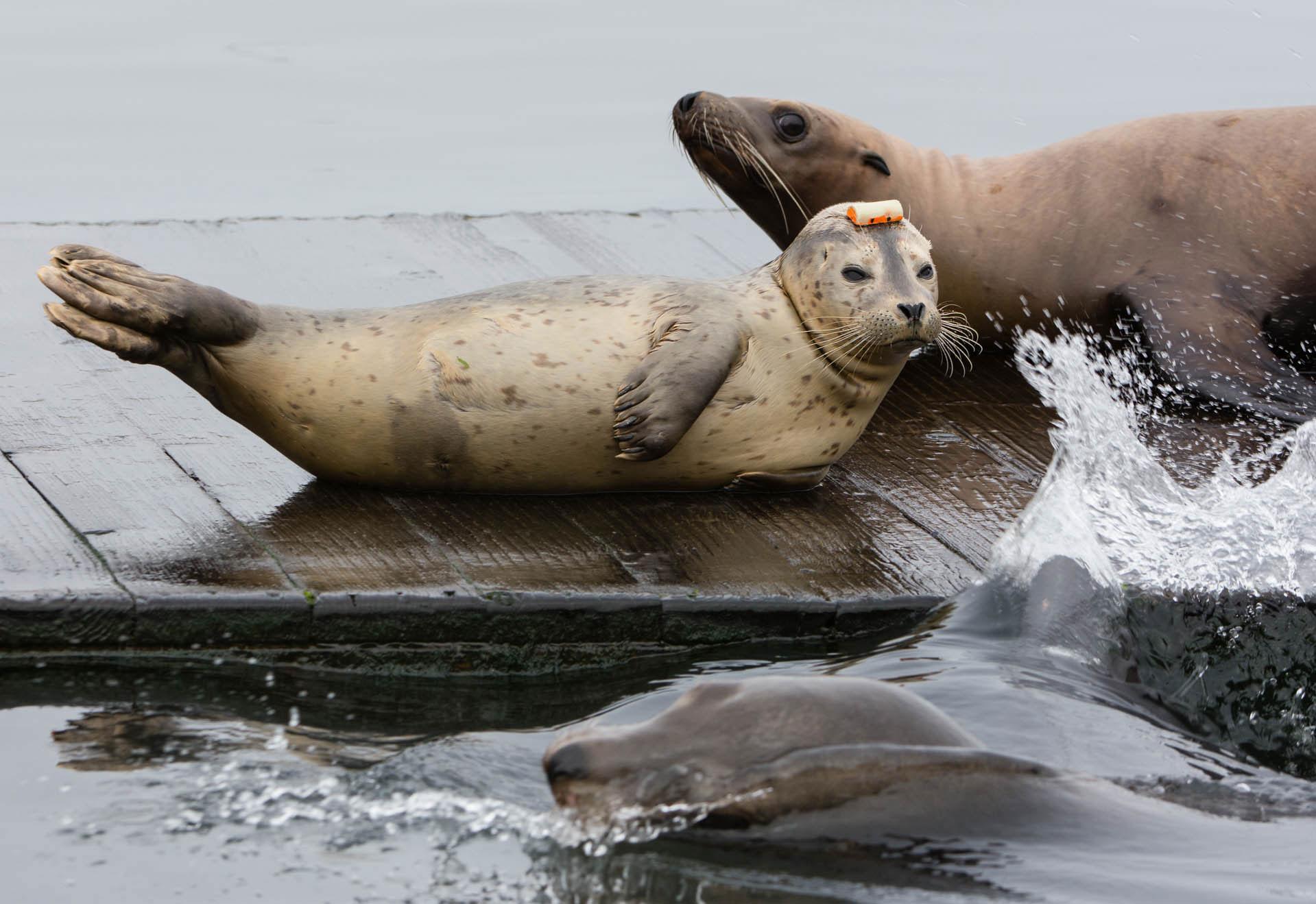 Harbor Seal Pup  (Phoca vitulina) Splashed by California Sea Lion  (Zalophus californianus) - Moss Landing, California  Nikon D7200 + Nikon 200-400mm f4.0 VR
