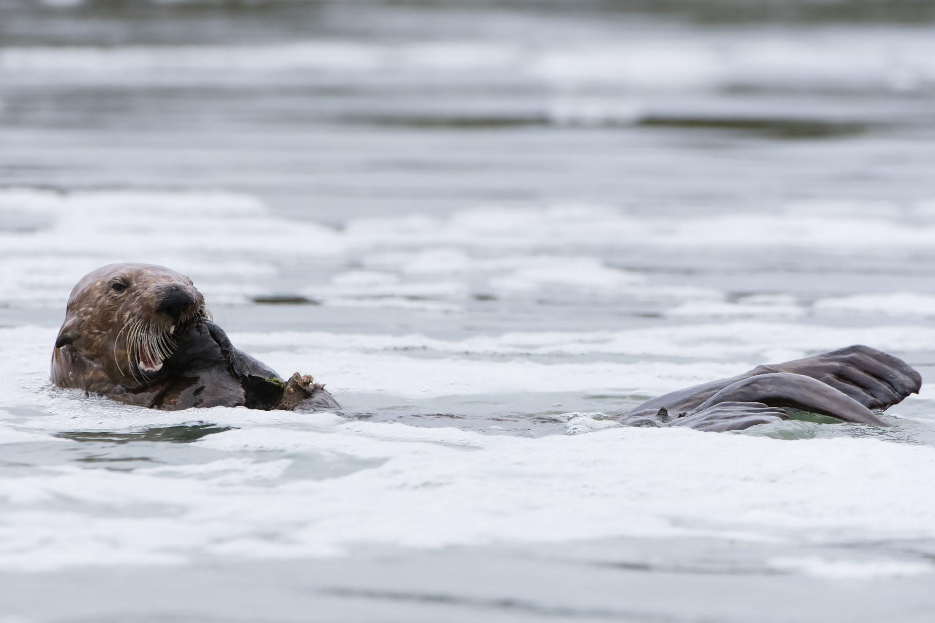 California Sea Otter  (Enhydra lutris)  - Eating Mussels Moss Landing  Nikon D7200 + Nikon 200-400mm f4 VR1 @ ISO 800