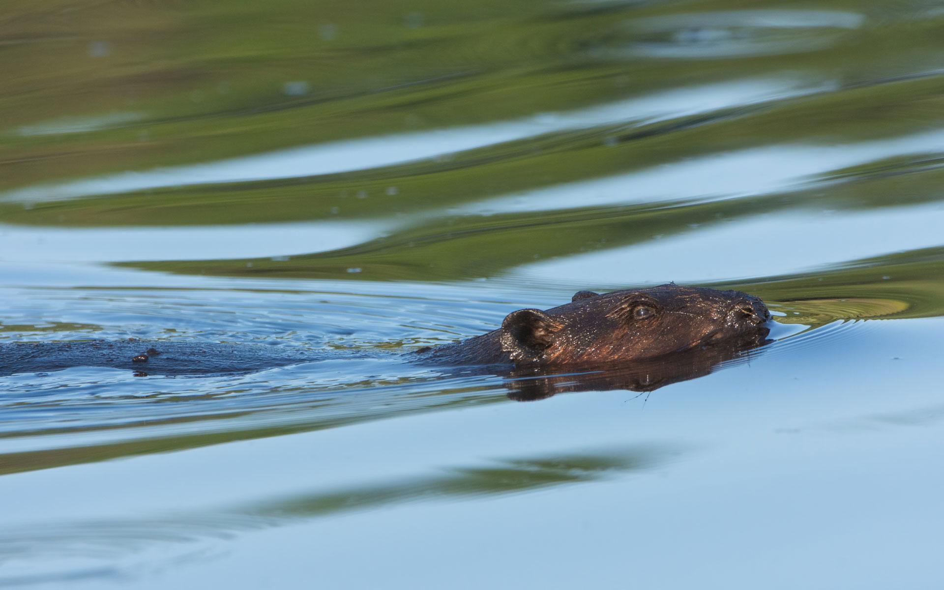 Summer Beaver  (Castor canadensis) - St. Croix Area, MN  Nikon D7200 + Nikon 200-400mm f4 VR1 @ ISO 800
