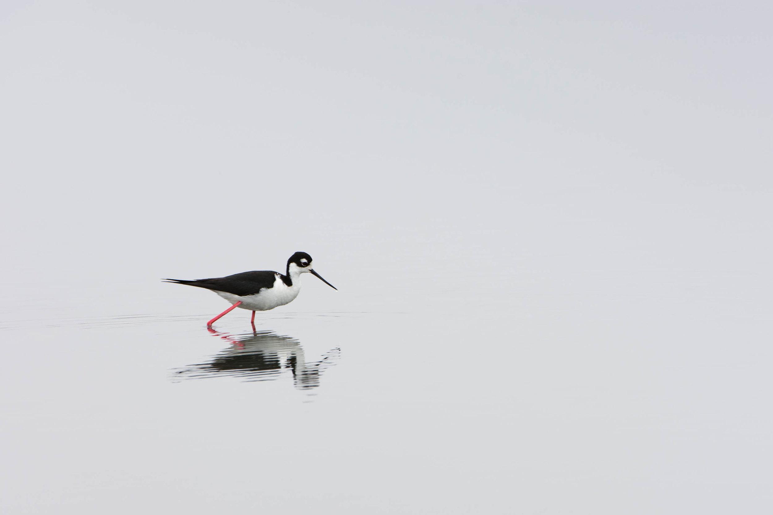 Black-necked Stilt  (Himantopus mexicanus) - Moss Landing, CA  Nikon D7200 + Nikon 200-400mm f4 VR1