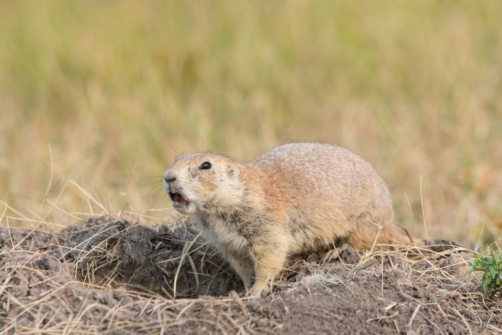 Prairie Dog ( Cynomys ludovicianus)  warning the colony of my presence - Badlands NP, SD  Nikon D7200 + Nikon 200-400mm f4.0 VR