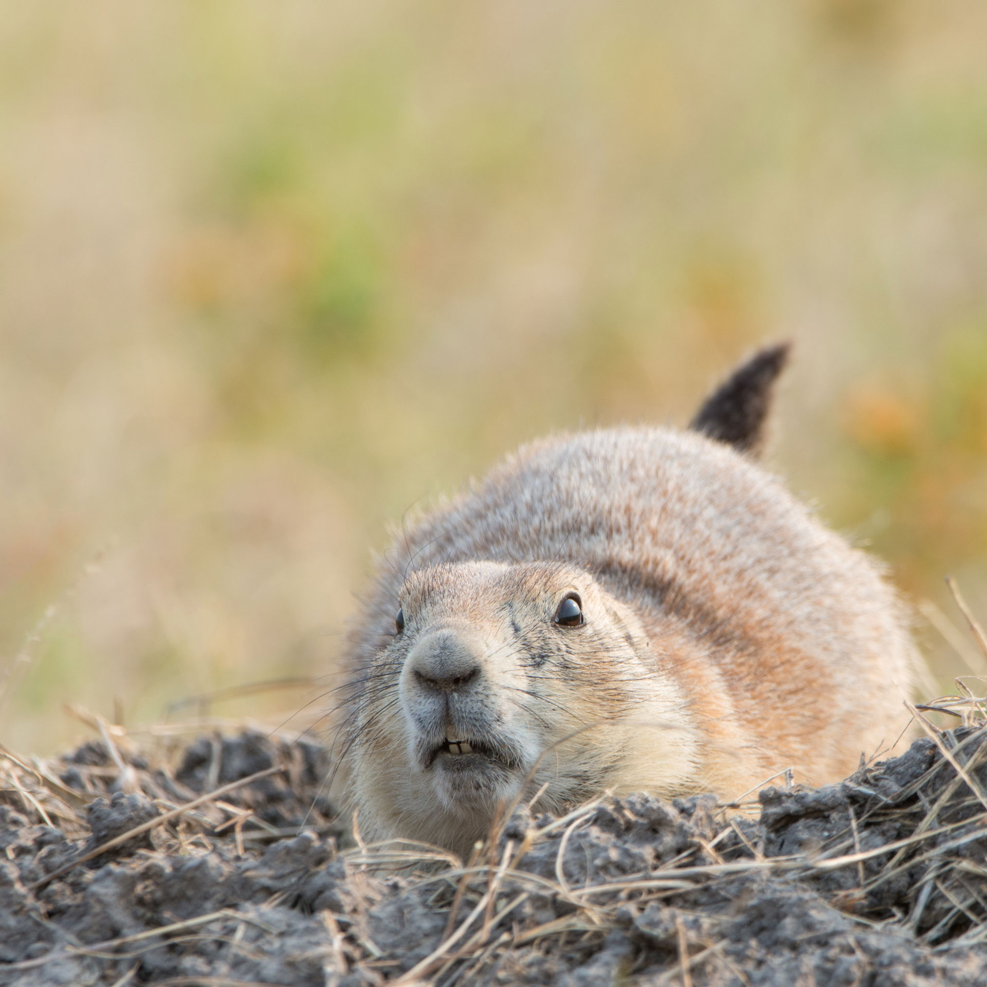 Prairie Dog ( Cynomys ludovicianus ) prepping to retreat into a burrow - Badlands NP, SD  Nikon D7200 + Nikon 200-400mm f4.0 VR