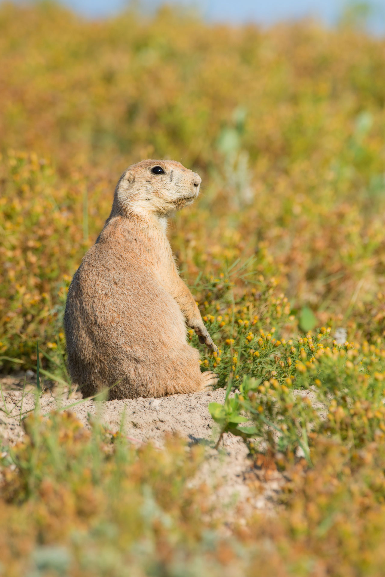 Prairie Dog ( Cynomys ludovicianus ) surveying the landscape - Wind Cave NP, SD  Nikon D7200 + Nikon 200-400mm f4.0 VR