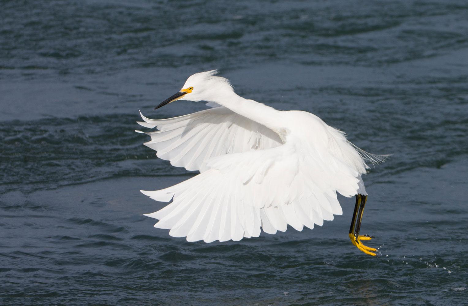 Snowy Egret ( Egretta thula ) - Moss Landing State Beach, CA