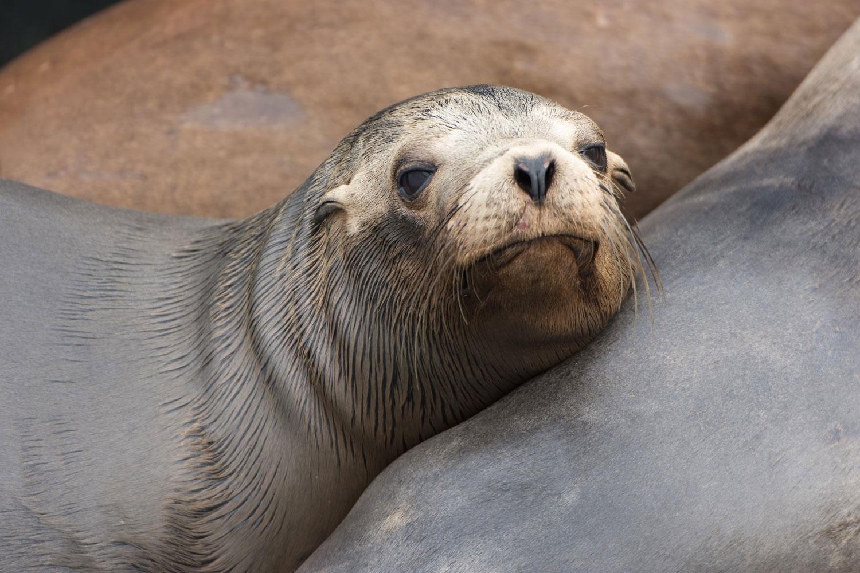 California Sea Lion ( Zalophus californianus ) - Elkhorn Slough, CA