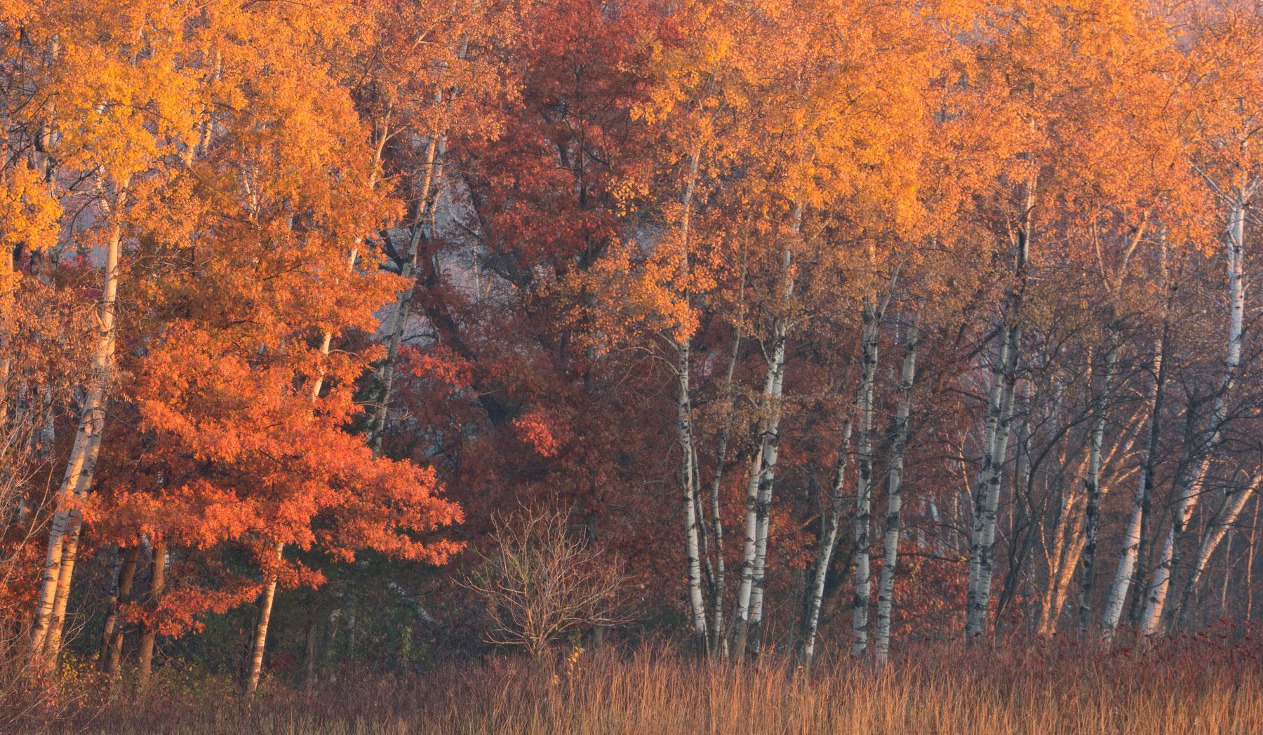 Yellow and Red in Morning Light - Minnesota  Nikon D7200 + Nikon 200-400mm f4.0 VR