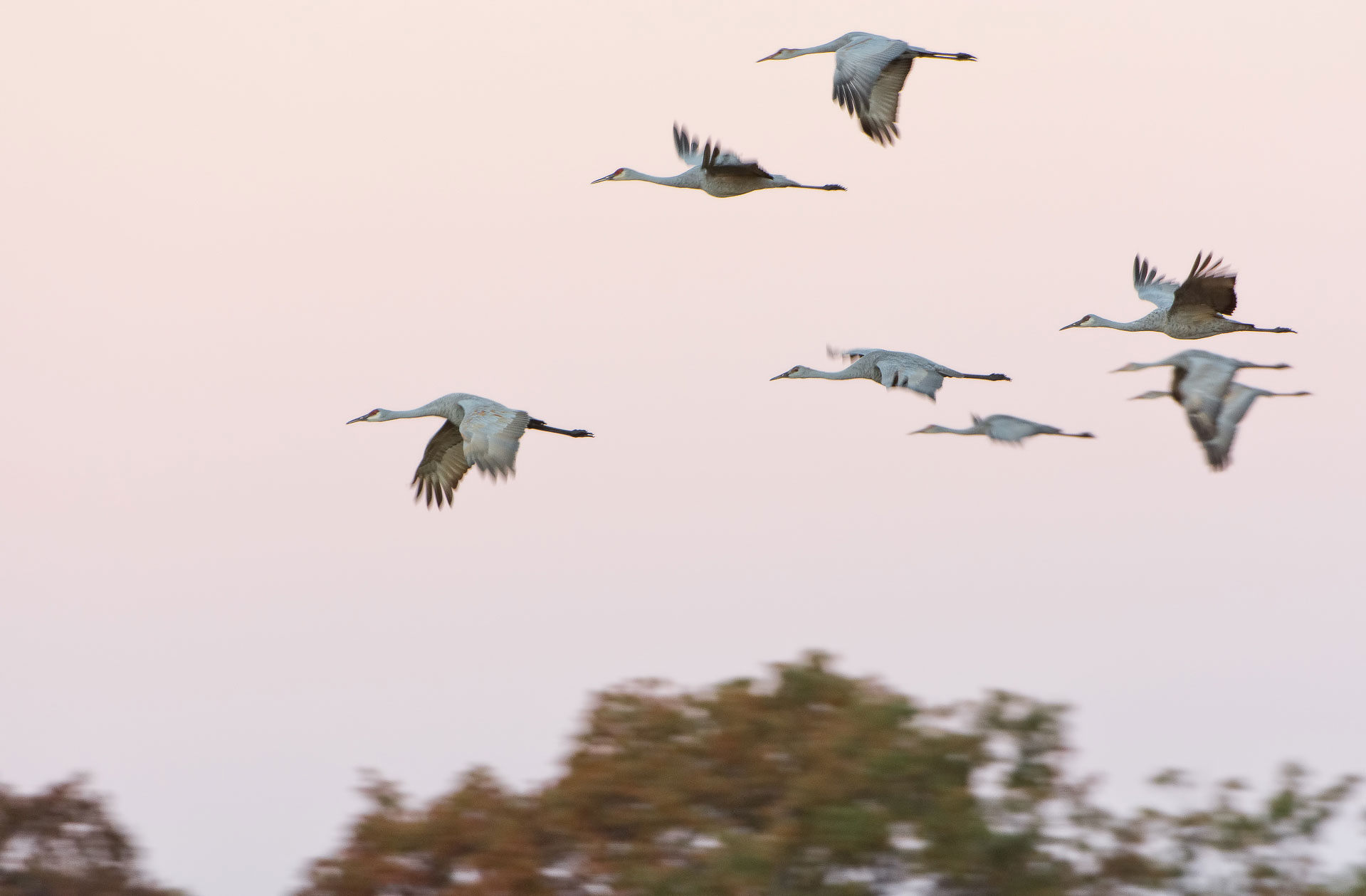 Crane Sunrise ( Grus canadensis ) - Crex Meadows, Wisconsin