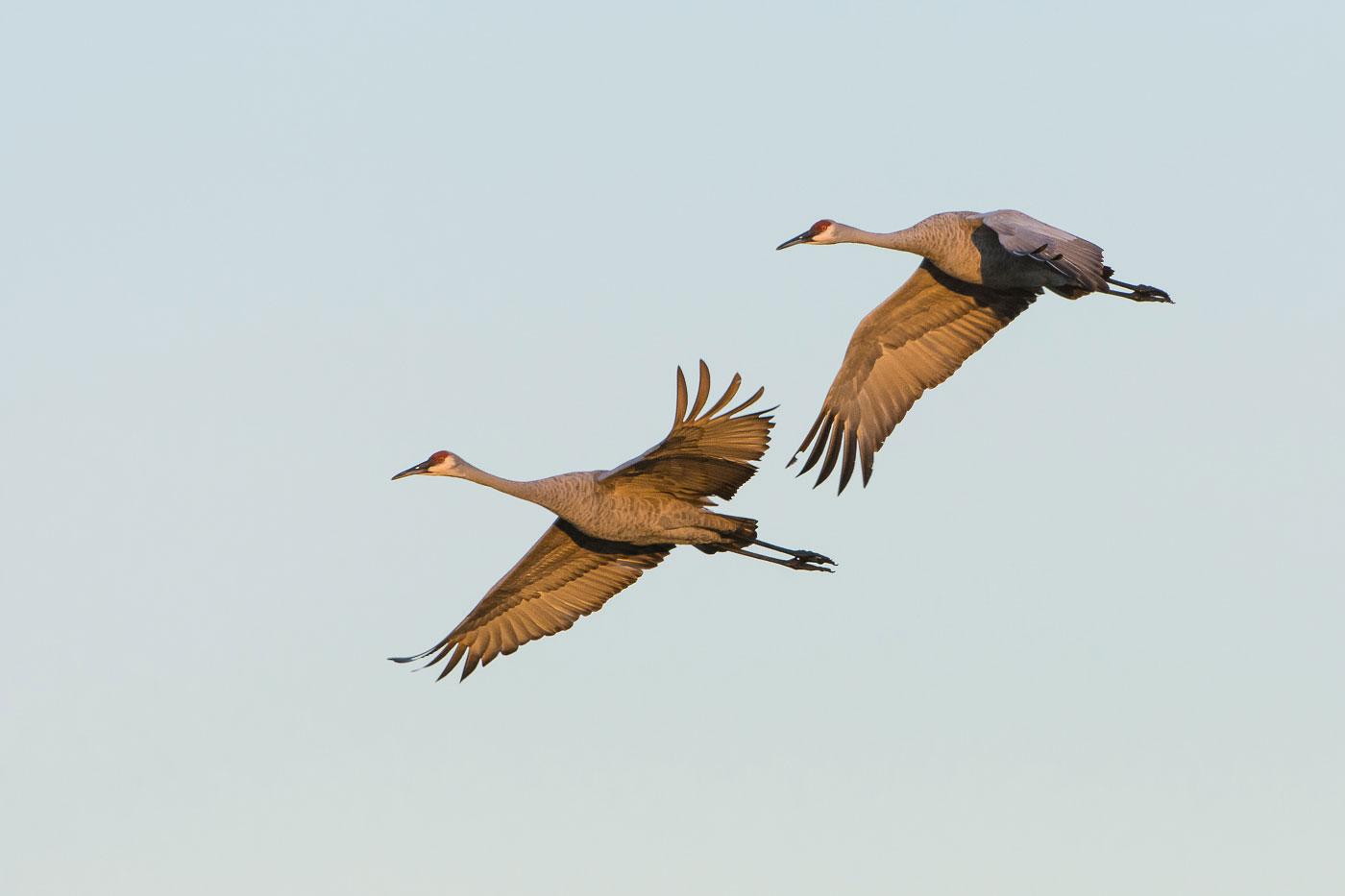 Cranes_BJL5849.jpg