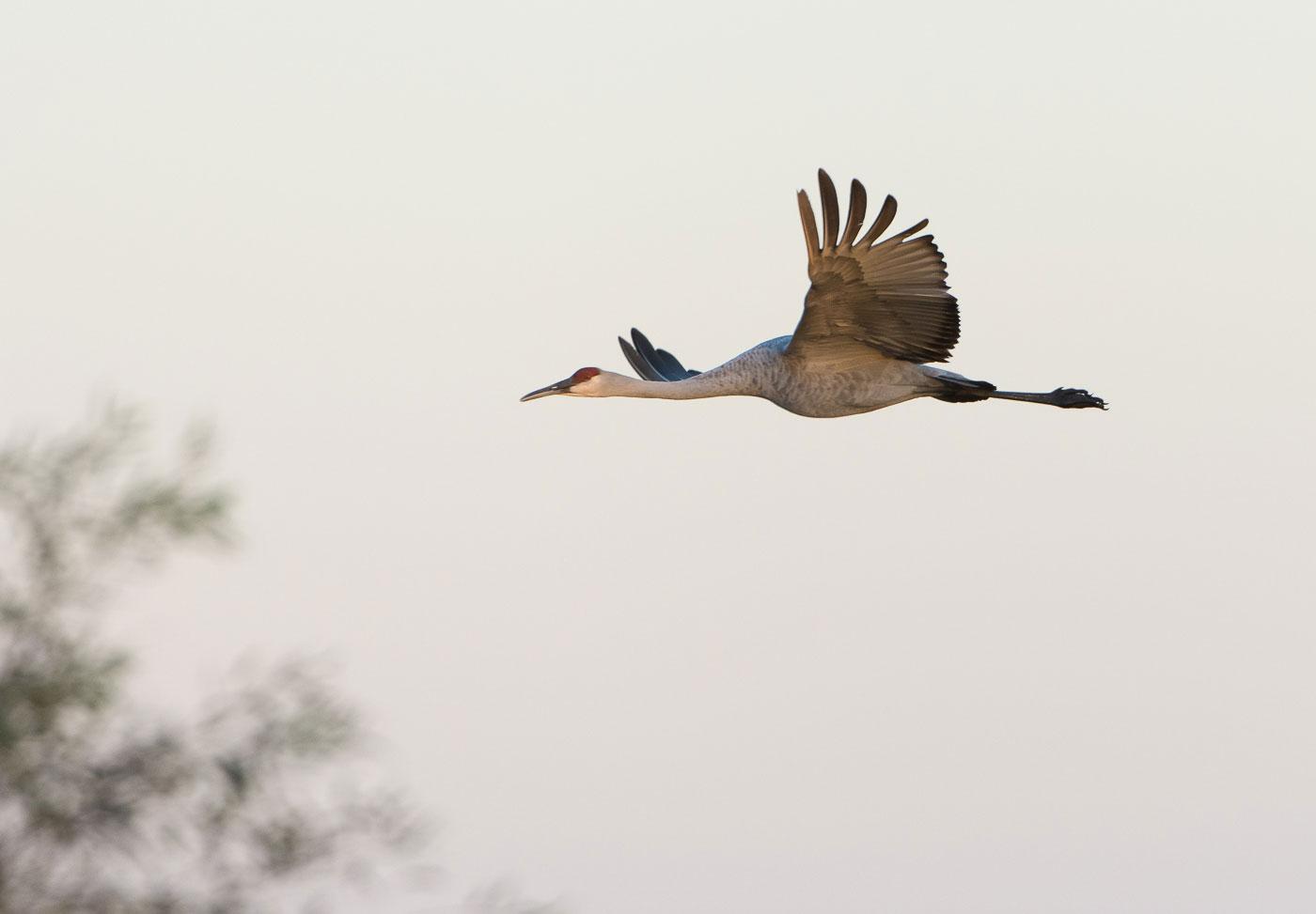 Cranes_BJL5922.jpg