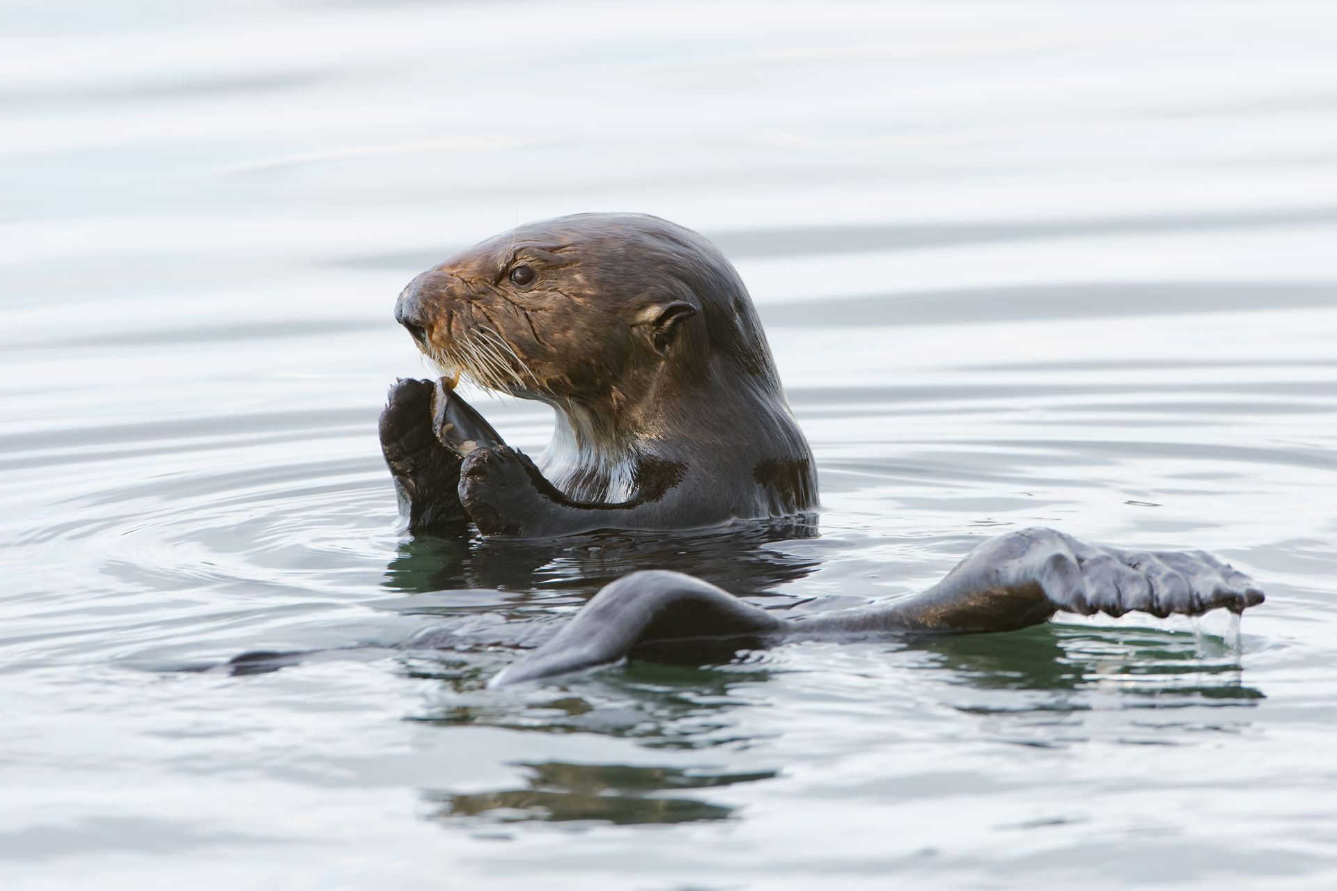 Distant Cousin?  Sea Otter  (Enhydra lutris)
