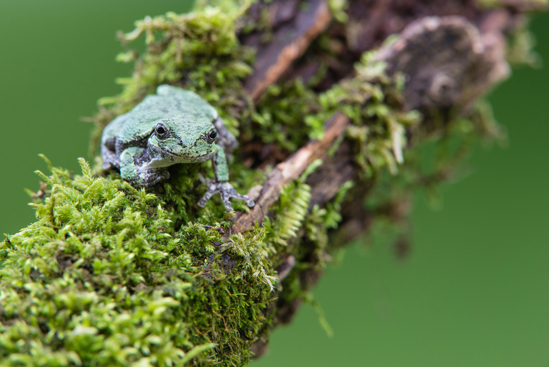 Image #6: Gray Tree Frog dressed in Green, WI