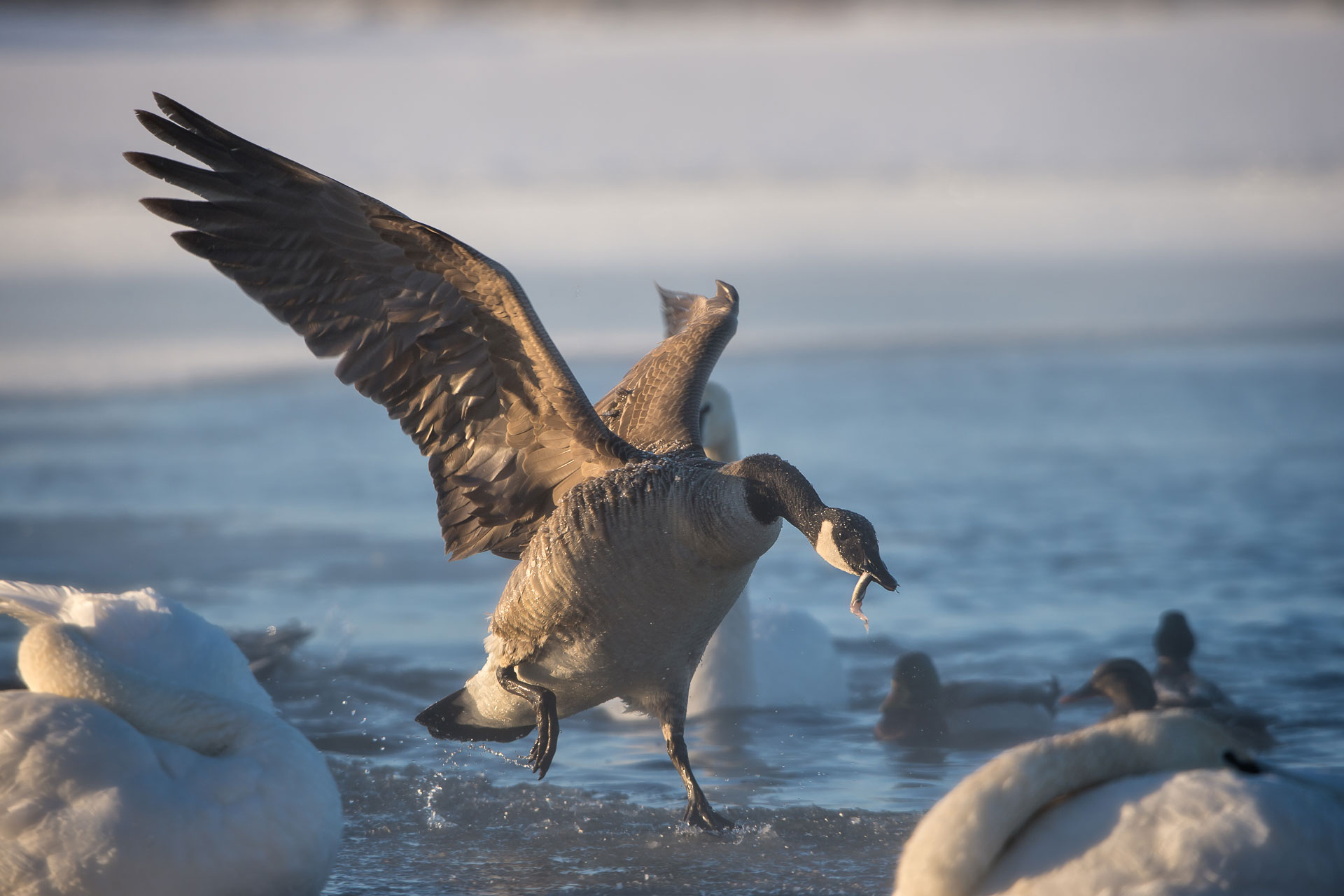 Canada Goose with Fish  (Branta canadensis)    January  10, 2016: -9 deg F