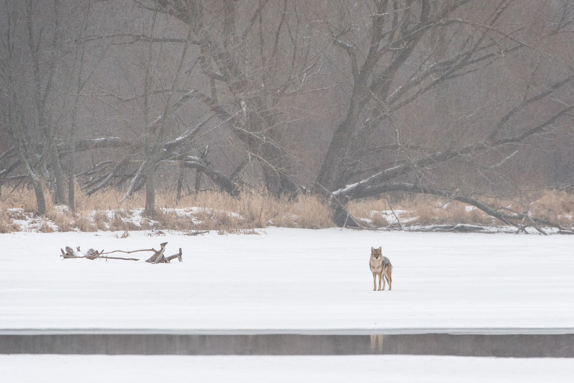 Coyote_BJL0418.jpg