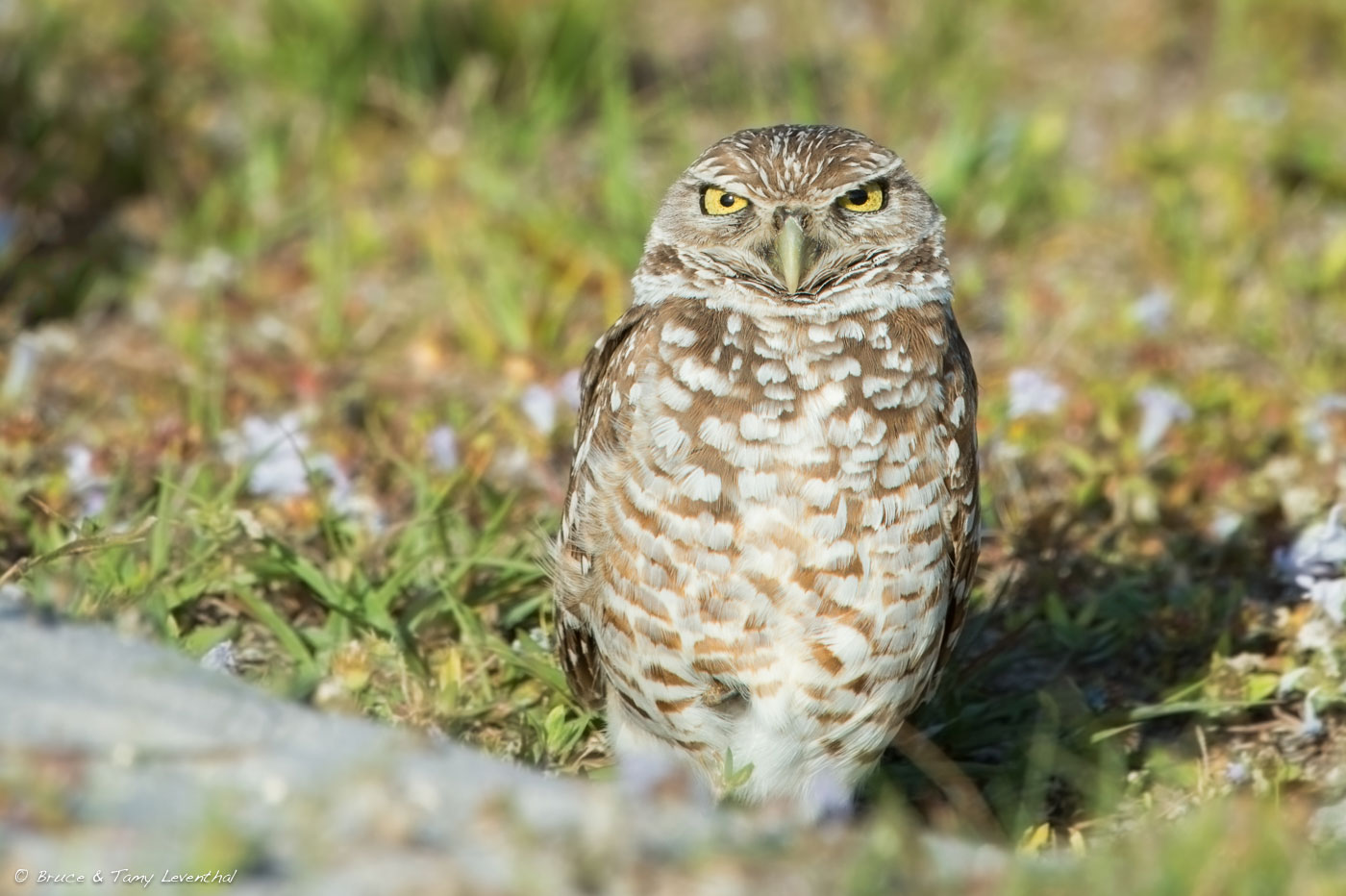 Burrowing Owl 1 ( Athene cunicularia )  Nikon D4 + Nikon 200-400mm f4VR (Cropped to tighten the composition)