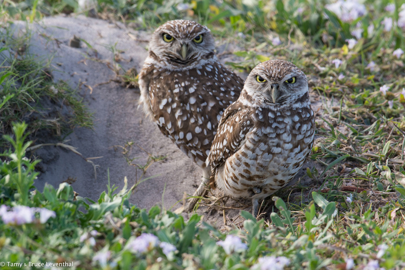 Burrowing Owl 1 ( Athene cunicularia )  Nikon D7100 + Nikon 200-500mm f5.6VR (Cropping Slightly)