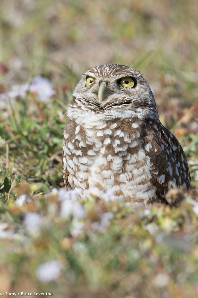 Burrowing Owl 1 ( Athene cunicularia )  Nikon D7100 + Nikon 200-500mm f5.6VR (Cropped Vertical out of the Horizontal w/ pixels to spare)