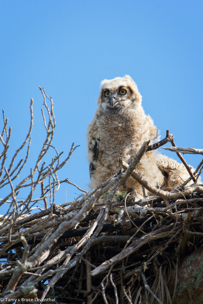 Great Horned Owlet  (Bubo virginianus)    Nikon D7100 + Nikon 200-500mm f5.6VR / TC-E1.4x II