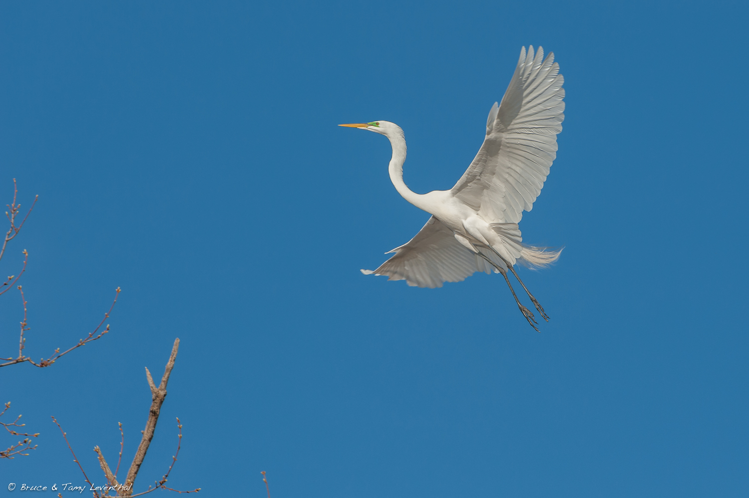 Great Egret ( Ardea alba )