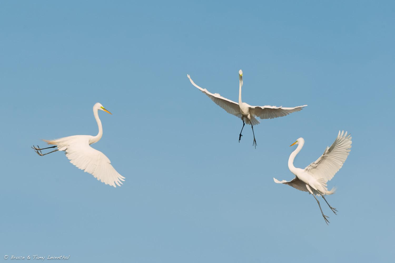 The Aerial Ballet ( Ardea alba )
