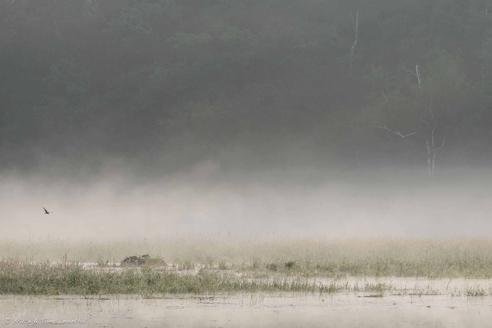 5/29/16 - Black Tern in Fog