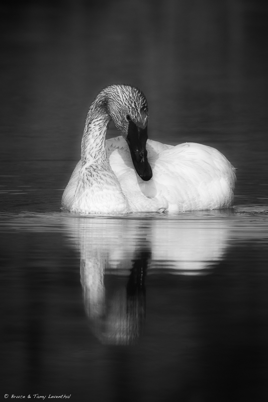 Trumpeter Swan   (Cygnus buccinator)   Photographed within minutes of the prior picture, I decided to convert the original to a monochrome. The bold posture of the swan and dark water cried for a dramatic interpretation of this serene moment. I used OnOne software to do the black and white conversion and add a vignette to draw the viewer into the contrasting tones between the plumage, bill and water.