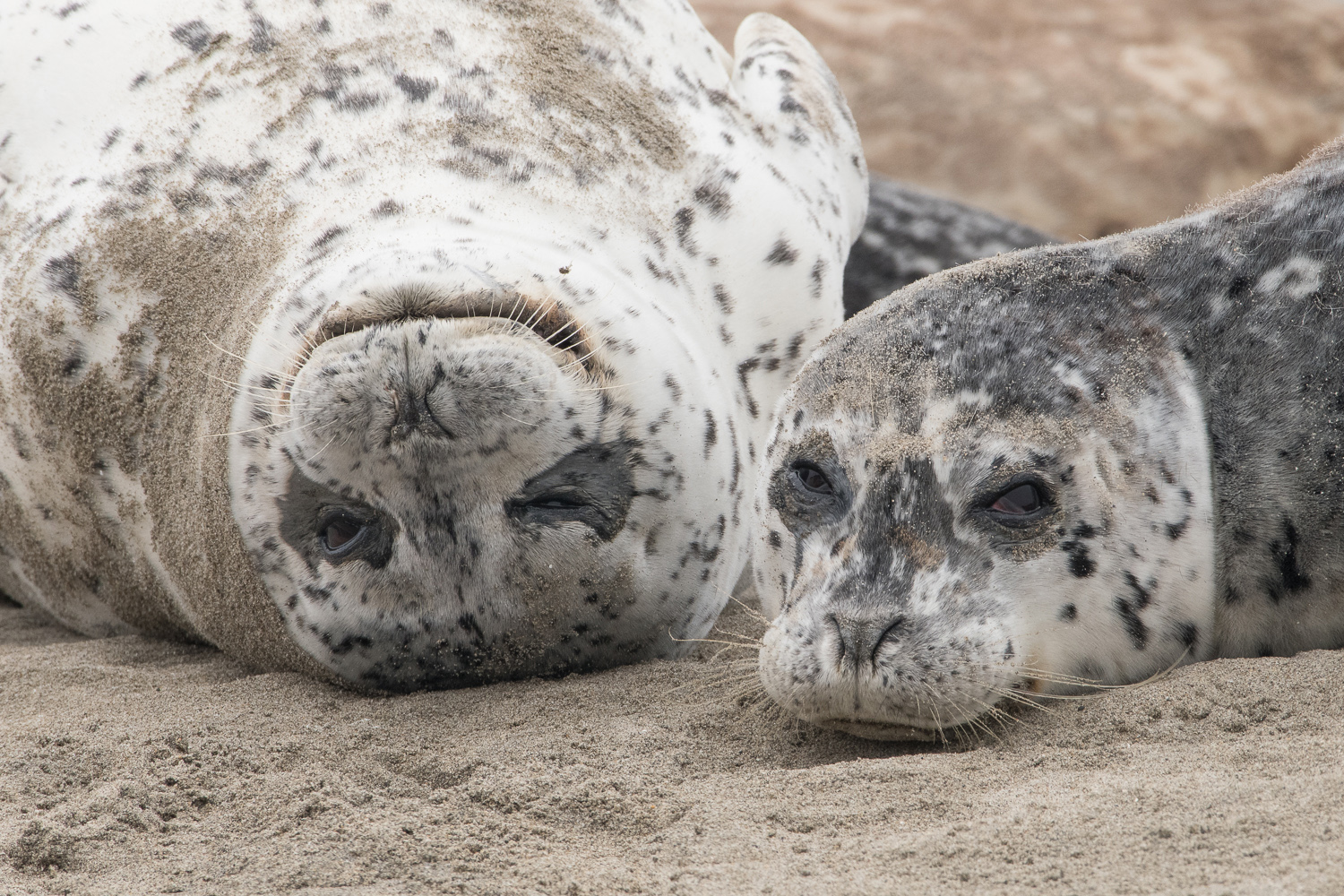 Happy - Sad (Harbor Seals) - Elkhorn Slough  Nikon D500 + Nikon 200-500mm f/5.6VR