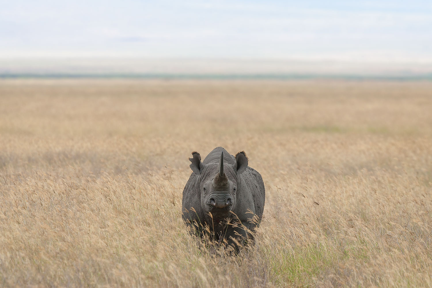 Black Rhinoceros  (Diceros bicornis)  - Ngorongoro Crater  Canon 1D mkII + Canon 300mm f/2.8IS w/ Canon 1.4x