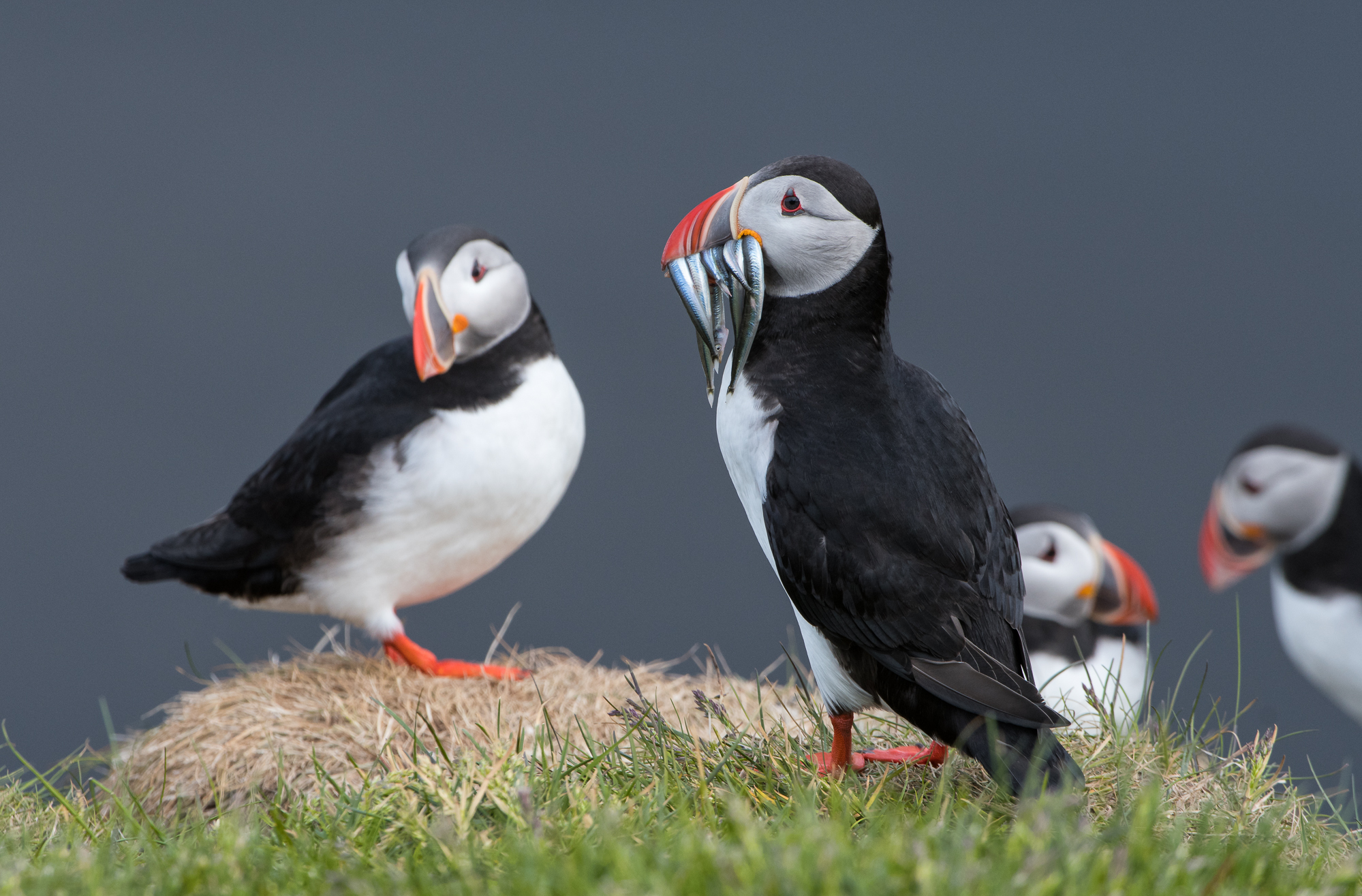 Atlantic Puffin Colony - Iceland  Nikon D500 + Nikon 200-400mm f/4.0
