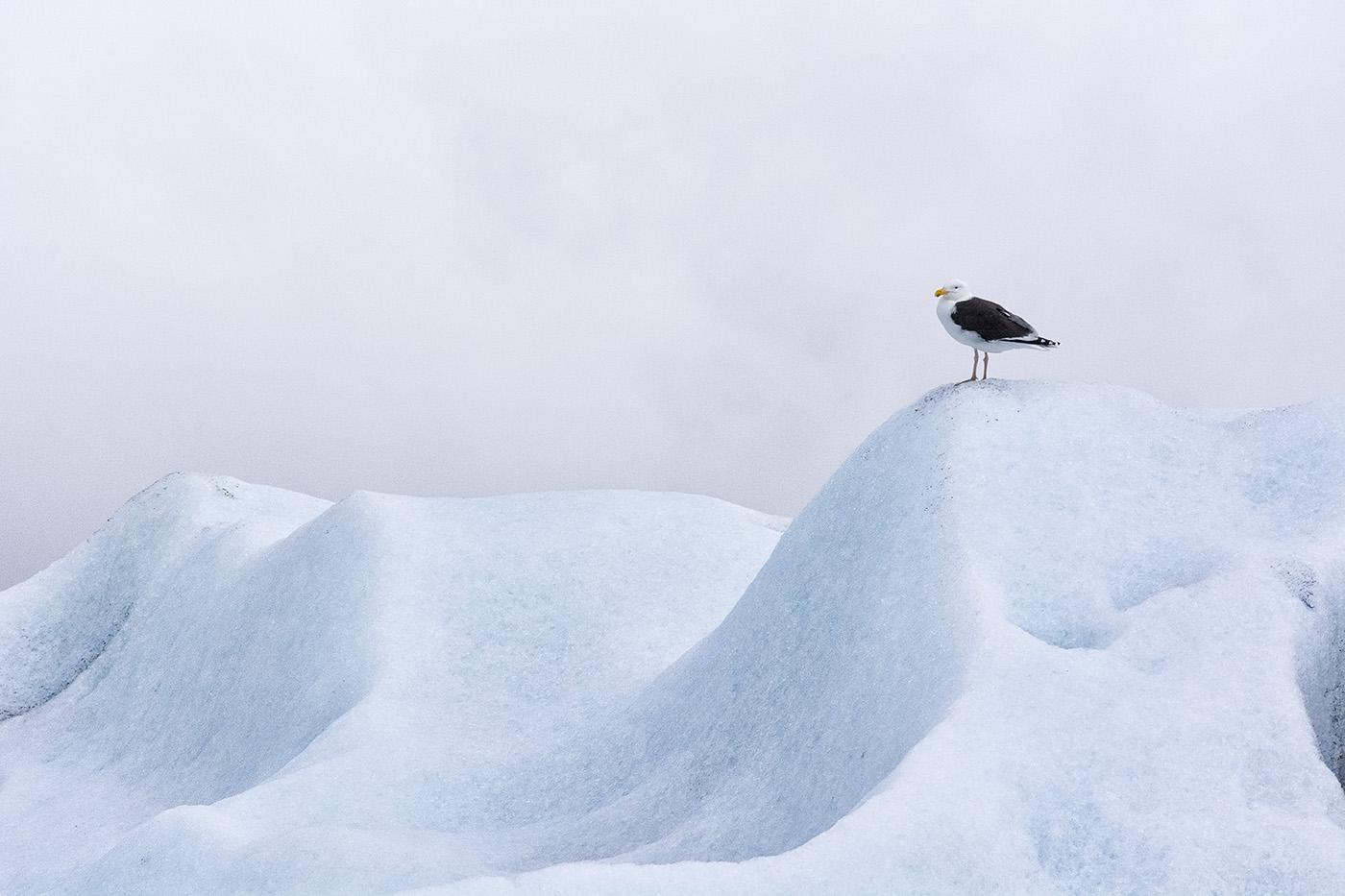 Great Black-backed Gull  (Larus marinus) - Jökulsárlón, Iceland    Nikon D7100 + Nikon 200-500mm VR