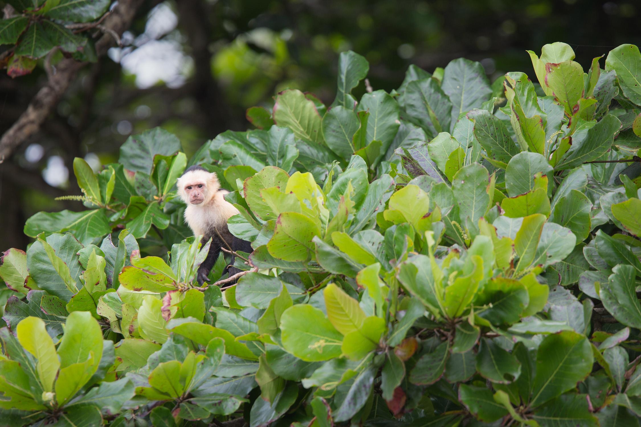 White-faced Capuchin  (Cebus capucinus)  - Dominical, Costa Rica