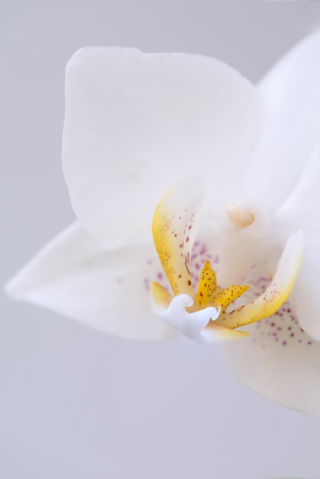 Orchid Details - Bachmann Garden Center, MN  Nikon D810 + Tamron 180mm f/3.5 Macro