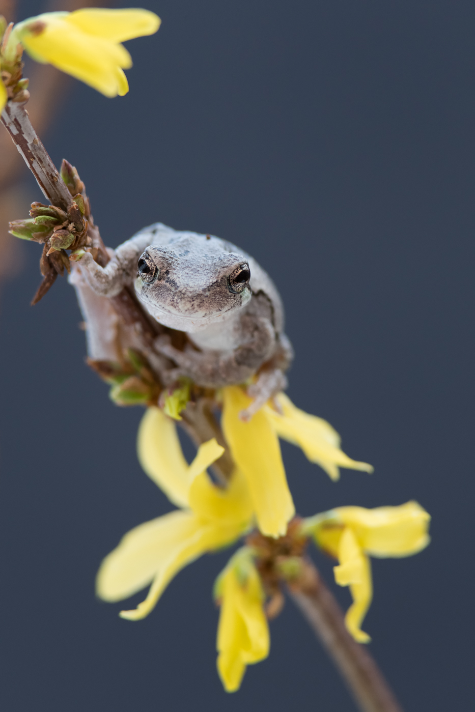 Gray Tree Frog and  Forsythia viridissima   Nikon D500 and Nikon 200-400mm f/4 VR