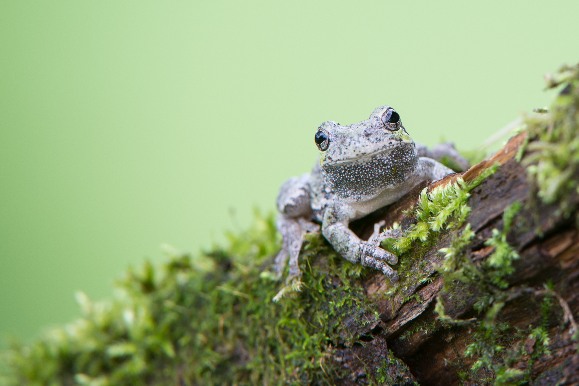 FrogGrayTree_BTL0753-Edit.jpg