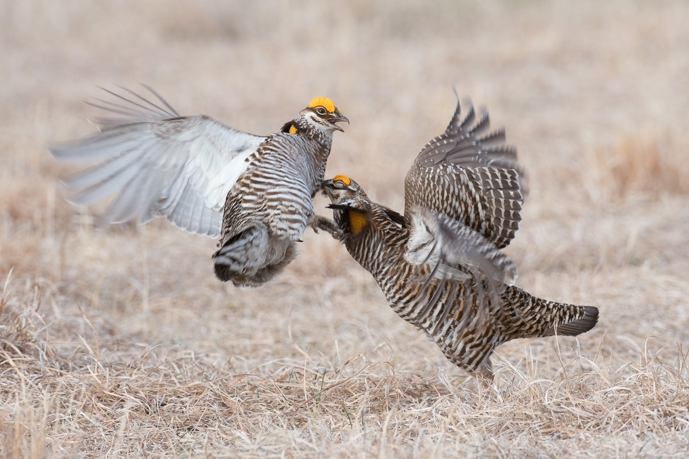 Chicken Fight  (Tympanuchus cupido) - Moorhead, MN    Nikon D500 + Nikon 200-400mm f/4 VR