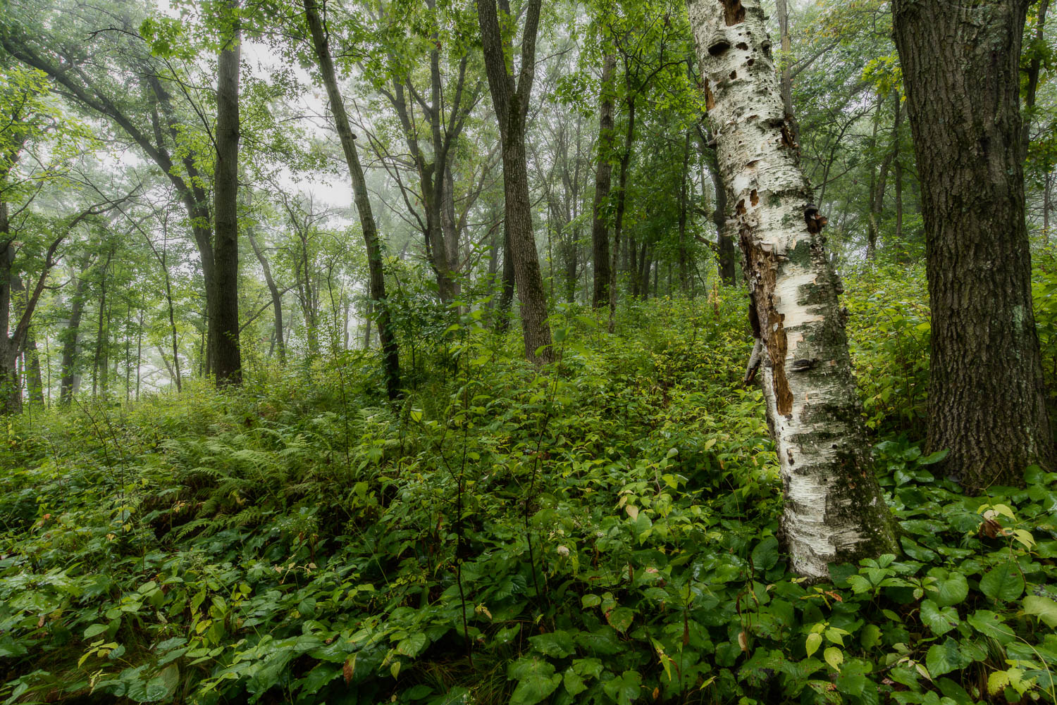 Foggy Forest  Nikon D810 + 16-35mm f/4 VR