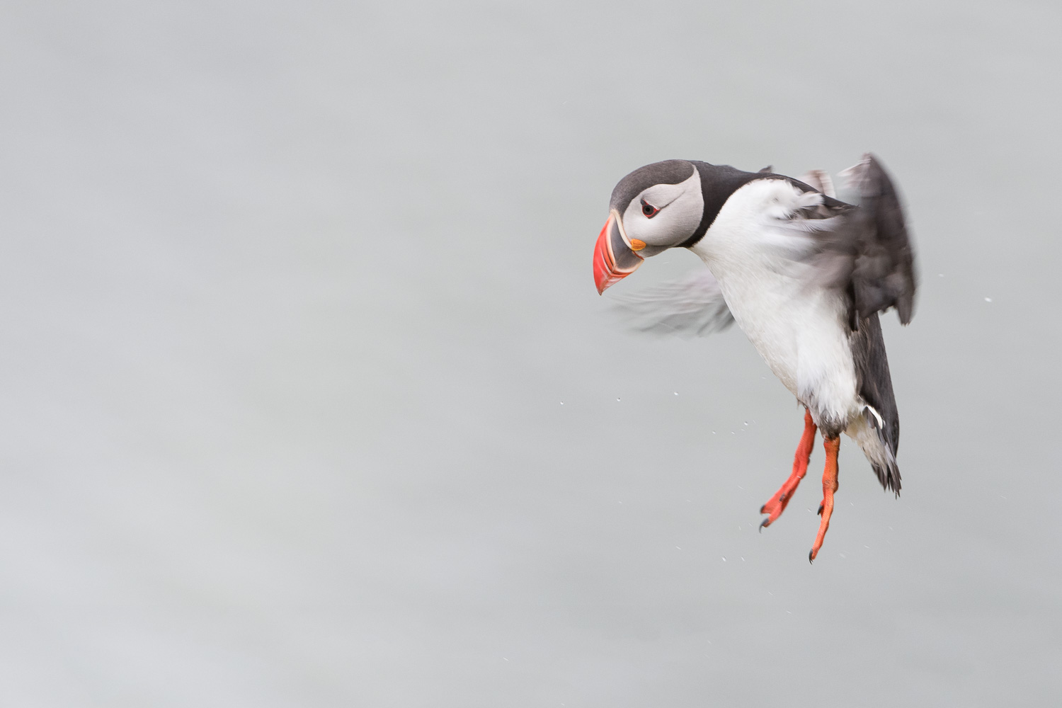 Flight to the Colony / Atlantic Puffin  Nikon D500 + Nikon 200-400mm f/4.0VR