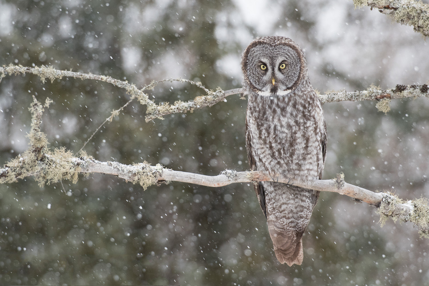 Great Gray Owl - Sax-Zim Bog, MN    Nikon D810 + Nikon 200-400mm f/4 VR