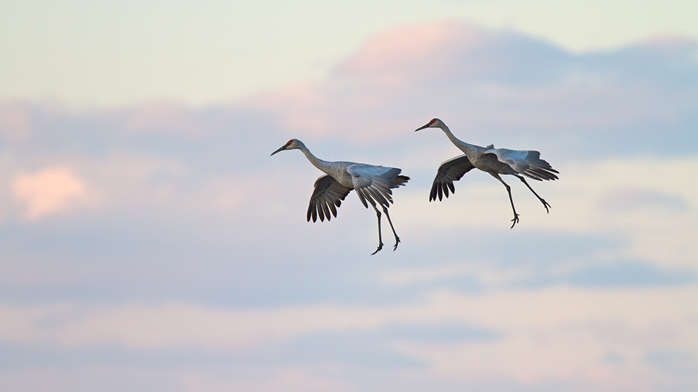 Parachuting Cranes, Crex Meadows Wildlife Sanctuary  Nikon D500 + Nikon 200-400mm VR Lens