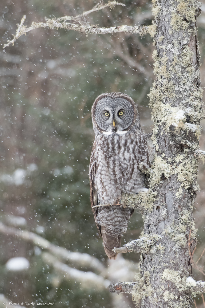 Great Grey Owl - Nikon D500 + 200-400mm @ 400mm and f/5.6