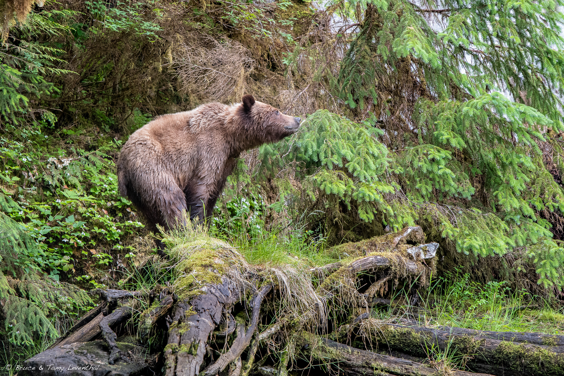 Grizzly Bear - Khutzeymateen Provincial Park, British Columbia Canada