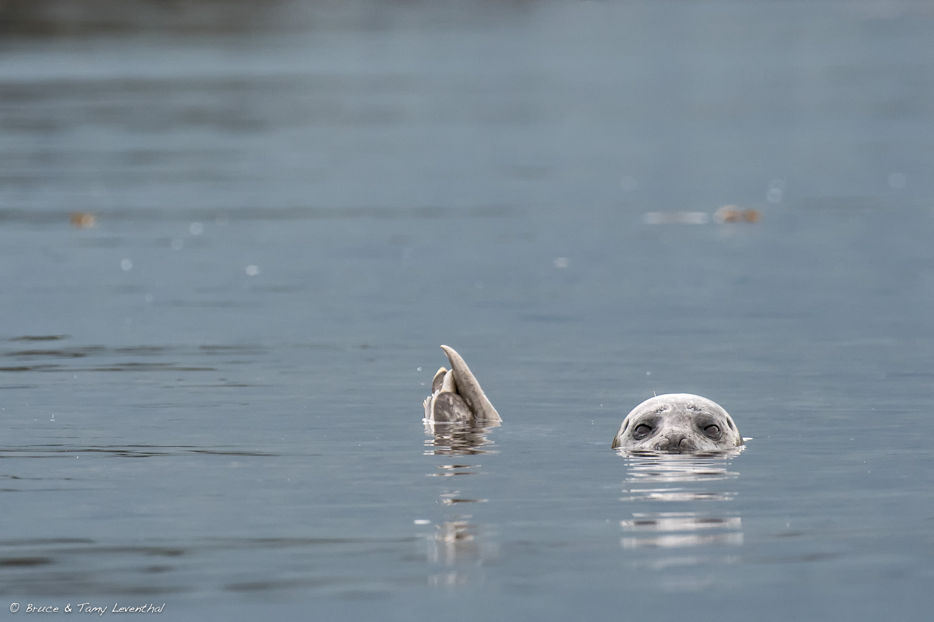 Harbor Seal - Broughton Archipelago, British Columbia Canada
