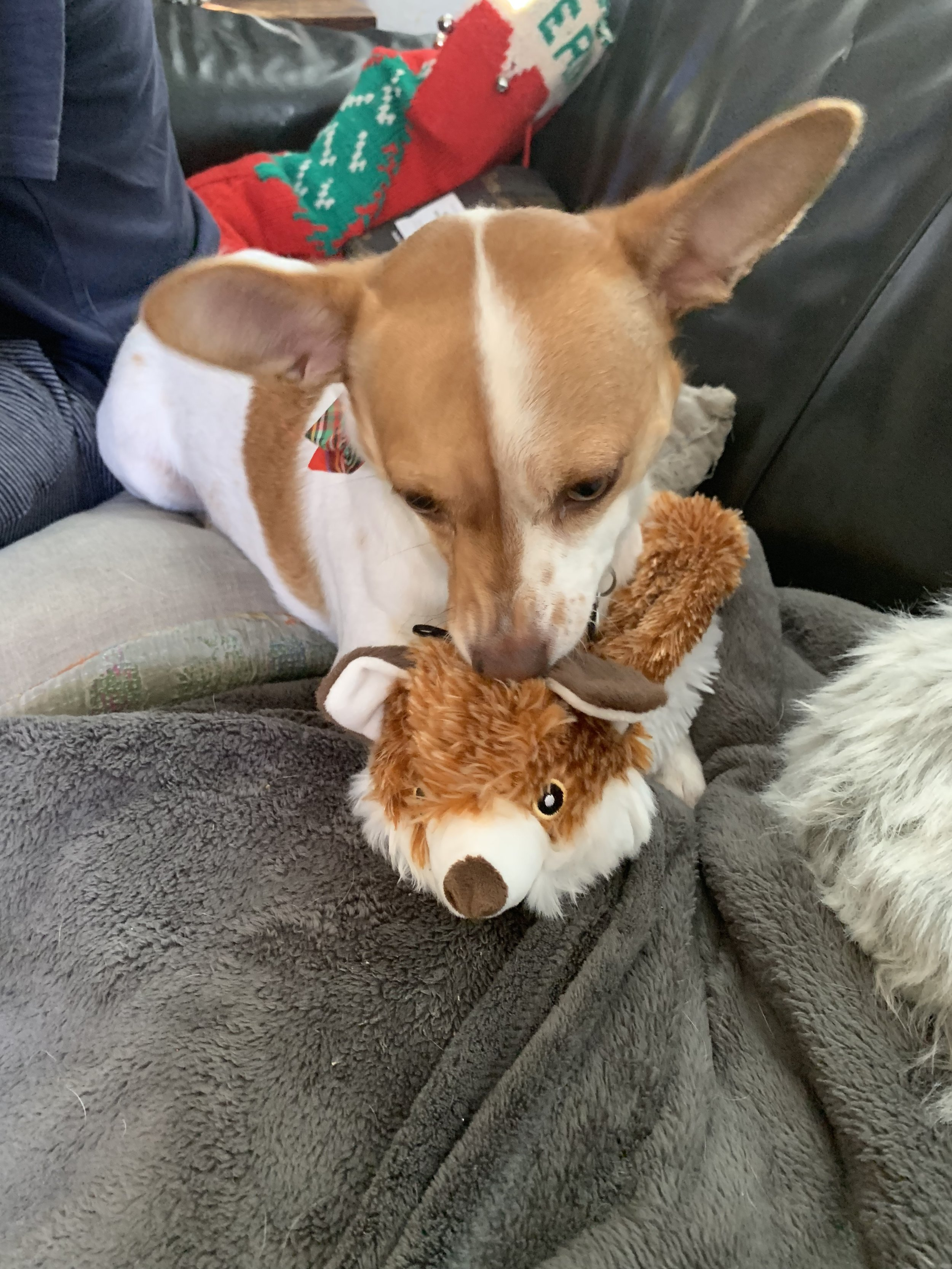 Hanging out with Scully was a huge part of my holiday! Here's her with her new fox toy. (She's wearing a bow tie).