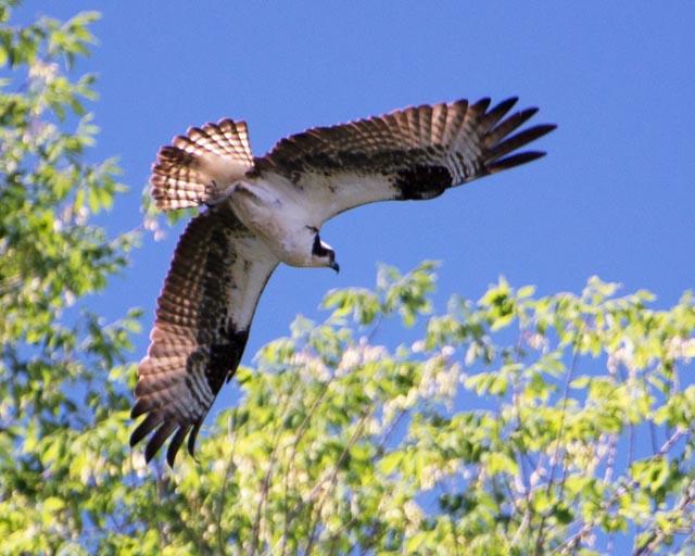 Hawk over the mouth of Possum Creek.jpg