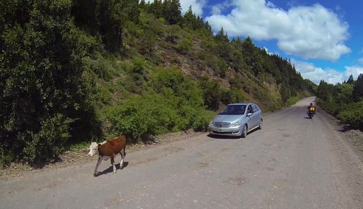 A stray cow and a Mercedes